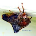 Smiliine Treehopper