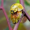 Paropsine Leaf Beetles