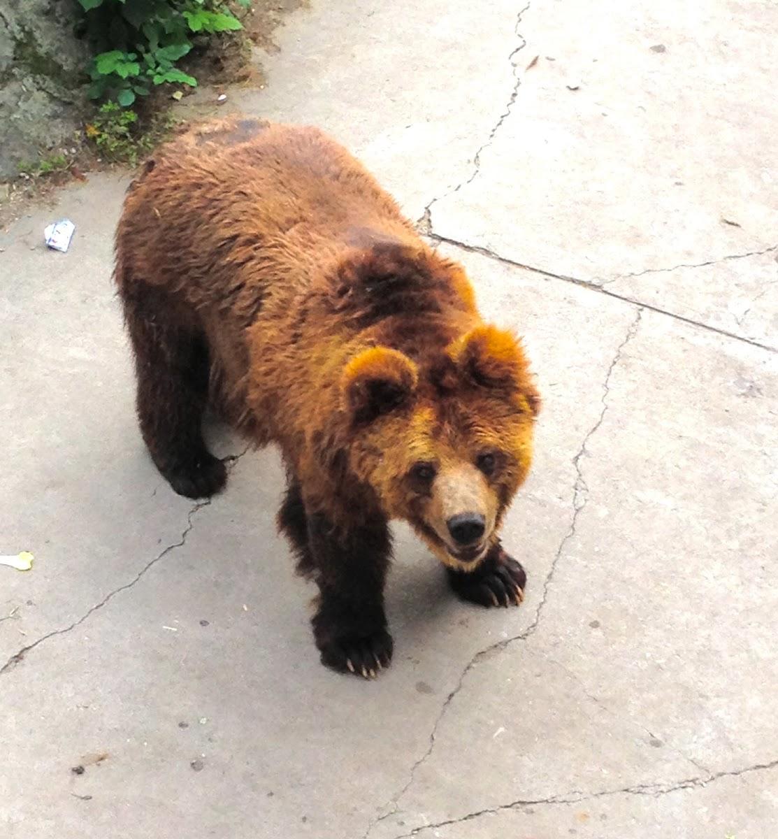 Ussuri Brown Bear