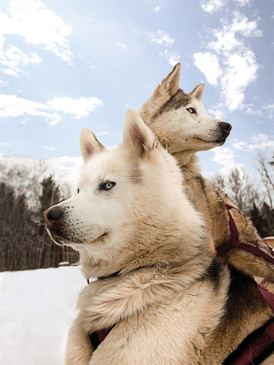 sled-dogs-Quebec - Sled dogs ready for the next challenge in Quebec.