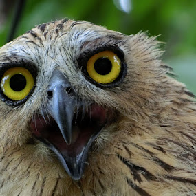 The calls by Lolotan Dalimunthe - Animals Birds ( open, mouth, owl, calling, lolotan,  )