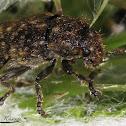 Thistle Head Weevil