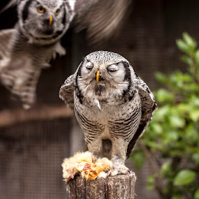 Surprise! by Barrington Dent - Animals Birds ( flaying, owl, eating, birds )