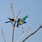 White-crowned parrots