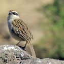 Rayado Sparrow