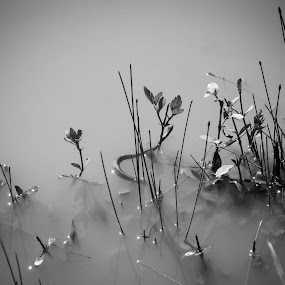 Snake in the Mist by Winterlyn Stebner - Black & White Flowers & Plants ( water, snake, black and white, plants, cloudy, mist )