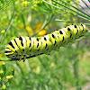 Black Swallowtail Caterpillar - 5th instar