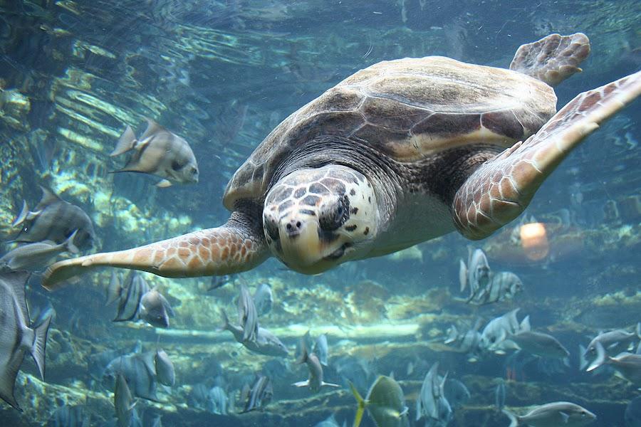 Shell-shocked by Jared Lantzman - Animals Sea Creatures ( shell, sea turtle, fish, ocean, turtle, , sea creatures, underwater life, ocean life )