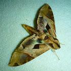 Satellite Sphinx Moth