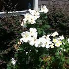 White heirloom roses