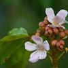 Anatto flower