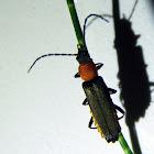 Tri-colour Soldier Beetle