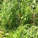 Flame Skimmer (Orange Male Dragonfly)