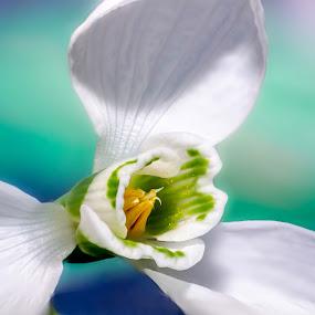 Snowdrop by Romeo Pogacean - Flowers Single Flower ( white flower, macro, snowdrop, spring, flower, , Flowers, Flower Arrangements )