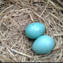 American Robin (eggs)