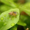 Small Striped Jumping Spider