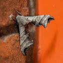 Unknown Grey Moth