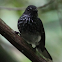 Spotted fantail