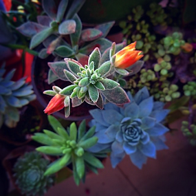 inand by Soumya Geetha - Nature Up Close Other plants ( my, succulents, bloom, love, growing, gardening, succulent, succugrowers, choyeesgarden )
