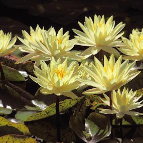 Water Garden by Sandra Blair - Flowers Flower Gardens ( water, lily, nature, pads, flowers, garden, water garden,  )