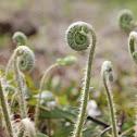 Christmas fern
