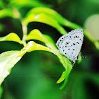 Common Hedge Blue (鈕灰蝶)