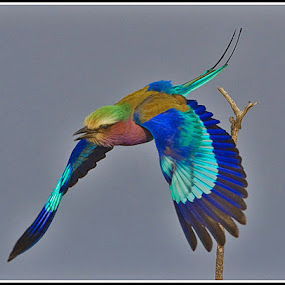 lilacbreasted roller by Jan Fourie - Animals Birds