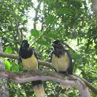Plush-crested Jay