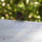 Diaethria candrena butterfly