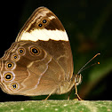 Straight-banded Treebrown