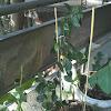 Tropical Hibiscus Japanese Lantern or Fringed Rosemallow