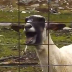 Screaming Sheep
