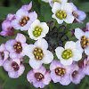 Alyssum Blossoms