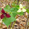 Red trillium and white form