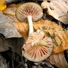 Entoloma mushroom