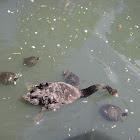 Black swan &turtles
