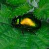 Mint Beetle; Escarabajo de la Menta