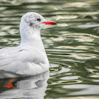 Black-headed gull (basic plumage)