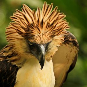 Eagle's Eye View by Bong Flores - Animals Birds ( davao city, malagos garden resort, agent binay, philippine eagle )