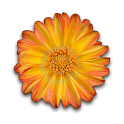 Dahlia Flower Clock Widget