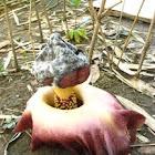 Pungapung (Elephant Foot Yam)