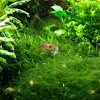 tropical freshwater shrimp