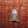 Double Lobed Moth