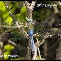 Blue Emperor