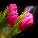 The Tulip Flowers