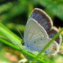 Eastern Tailed Blue Hairstreak