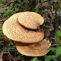 Dryad's Saddle fungus
