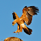 Tawney Eagles about to mate.jpg
