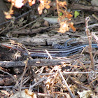 Orange-throated Whiptail Lizard