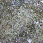 Green Map lichen